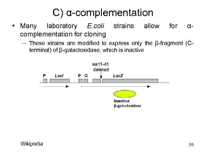 C) α-complementation • Many laboratory E. coli complementation for cloning strains allow for α-