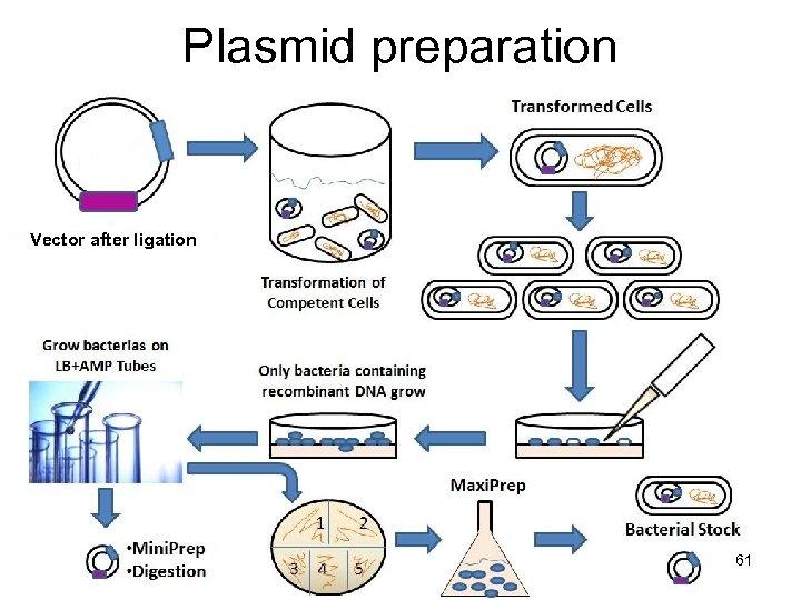 Plasmid preparation Vector after ligation 61