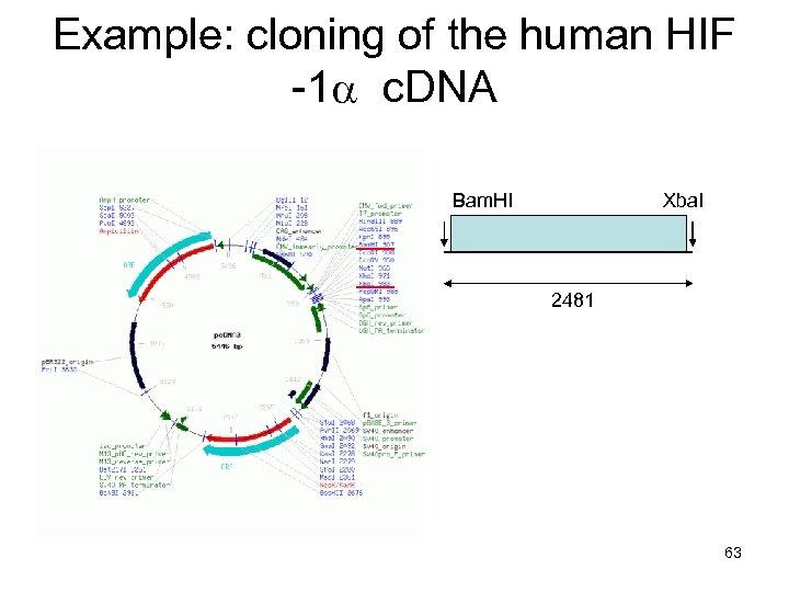 Example: cloning of the human HIF -1 a c. DNA Bam. HI Xba. I