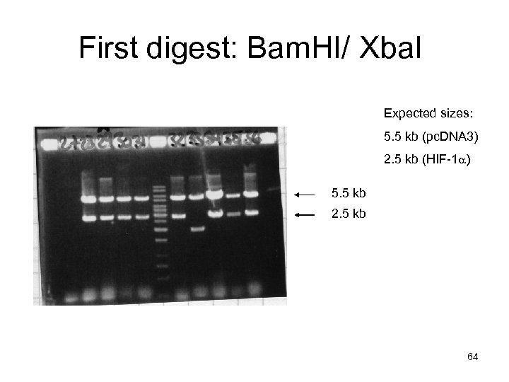 First digest: Bam. HI/ Xba. I Expected sizes: 5. 5 kb (pc. DNA 3)
