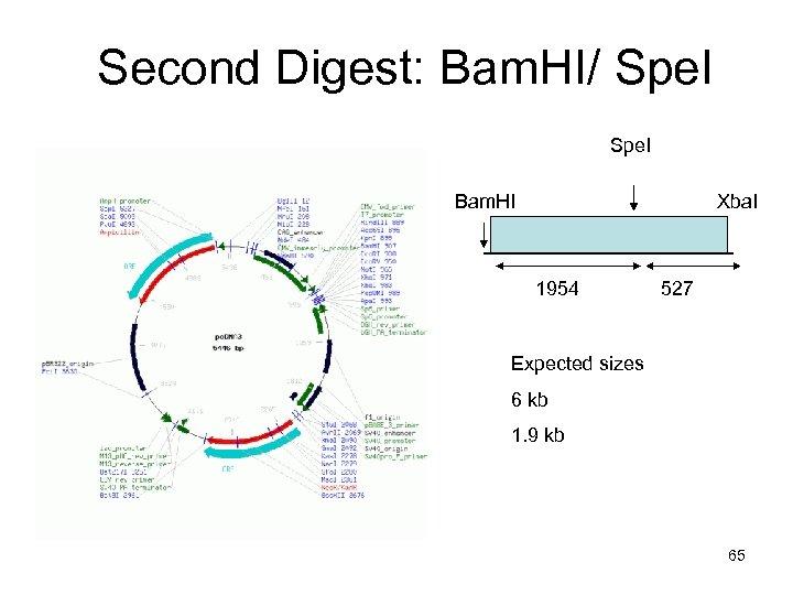 Second Digest: Bam. HI/ Spe. I Bam. HI Xba. I 1954 527 Expected sizes