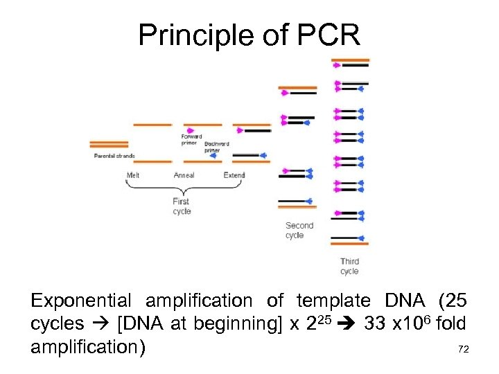 Principle of PCR Exponential amplification of template DNA (25 cycles [DNA at beginning] x