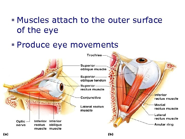 Extrinsic Eye Muscles § Muscles attach to the outer surface of the eye §