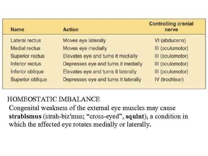 "HOMEOSTATIC IMBALANCE Congenital weakness of the external eye muscles may cause strabismus (strah-biz′mus; ""cross-eyed"","