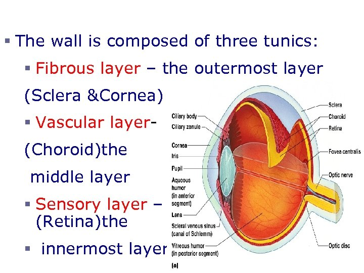 § The wall is composed of three tunics: § Fibrous layer – the outermost