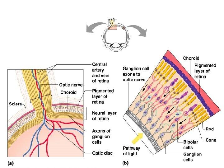 Neurons of the Retina Figure 8. 4
