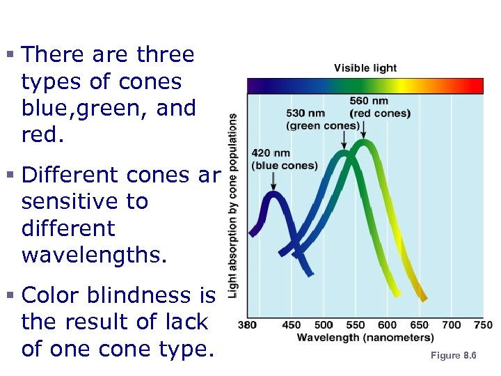 Cone Sensitivity § There are three types of cones blue, green, and red. §