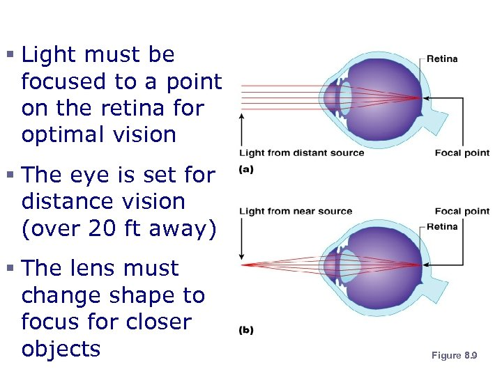 Lens Accommodation § Light must be focused to a point on the retina for