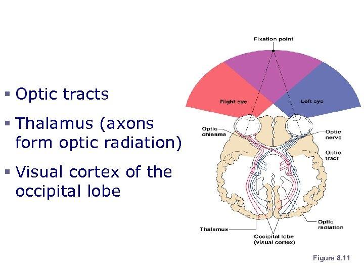 Visual Pathway § Optic tracts § Thalamus (axons form optic radiation) § Visual cortex