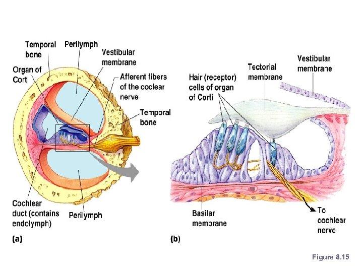 Organs of Hearing Figure 8. 15