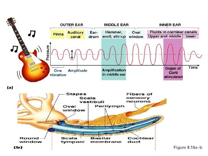Mechanisms of Hearing Figure 8. 16 a–b