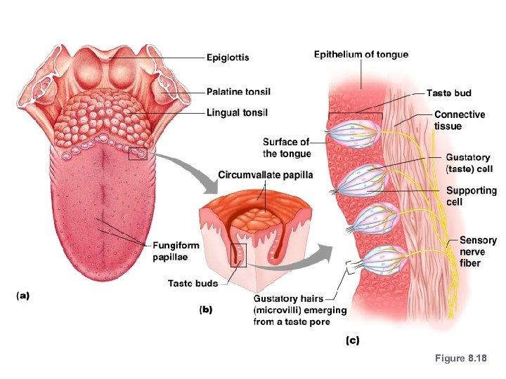 Anatomy of Taste Buds Figure 8. 18