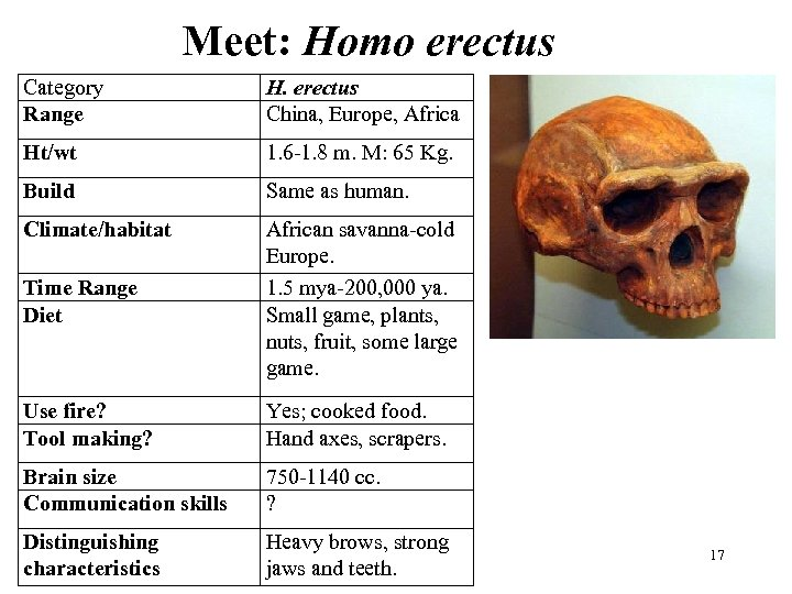 Meet: Homo erectus Category Range H. erectus China, Europe, Africa Ht/wt 1. 6 -1.