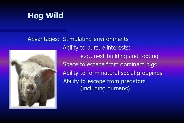 Hog Wild Advantages: Stimulating environments Ability to pursue interests: e. g. , nest-building and