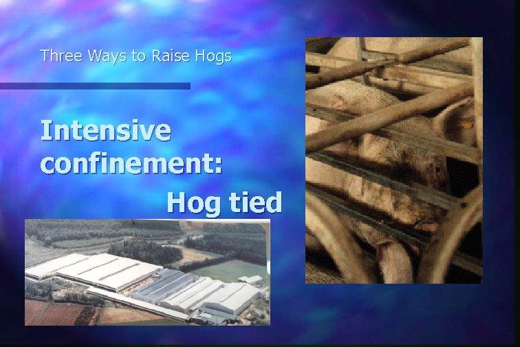 Three Ways to Raise Hogs Intensive confinement: Hog tied