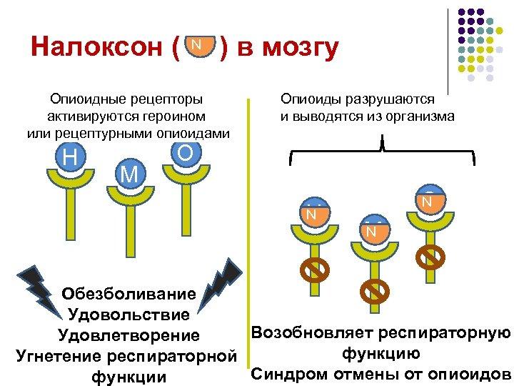 Налоксон ( N ) в мозгу Опиоидные рецепторы активируются героином или рецептурными опиоидами H