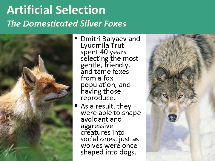 Artificial Selection The Domesticated Silver Foxes § Dmitri Balyaev and Lyudmila Trut spent 40