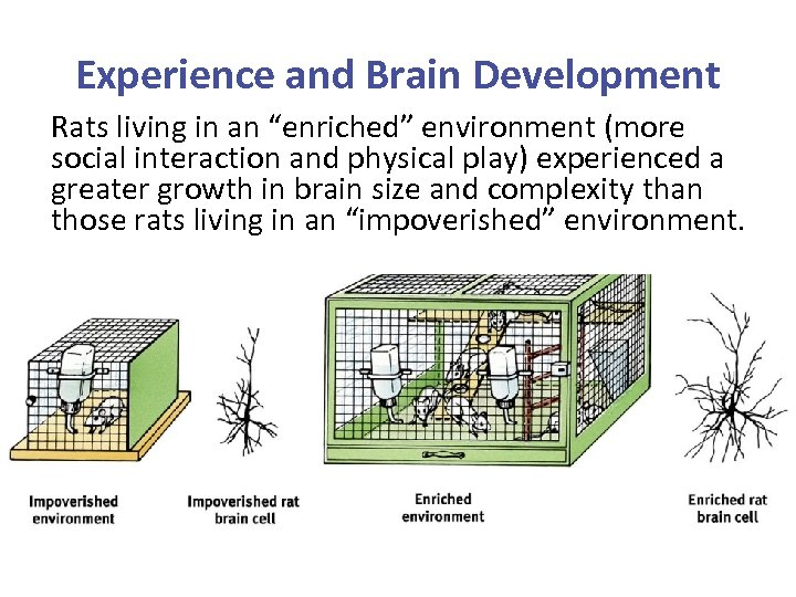 """Experience and Brain Development Rats living in an """"enriched"""" environment (more social interaction and"""