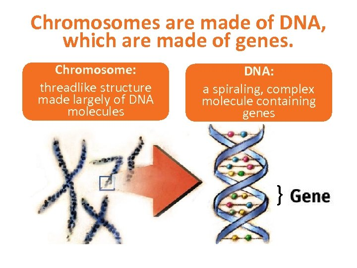 Chromosomes are made of DNA, which are made of genes. Chromosome: threadlike structure made