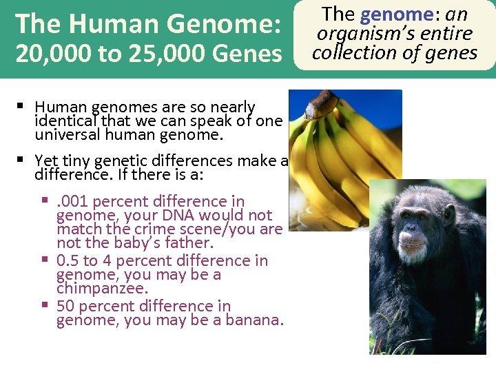 The Human Genome: 20, 000 to 25, 000 Genes § Human genomes are so