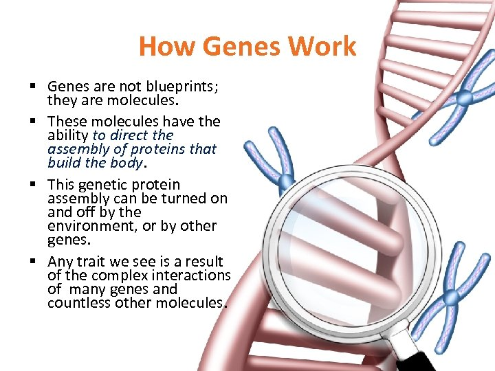 How Genes Work § Genes are not blueprints; they are molecules. § These molecules