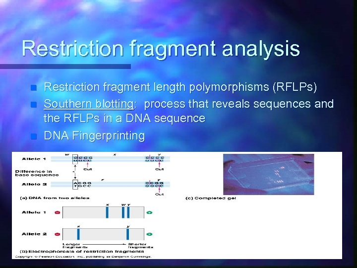 Restriction fragment analysis n n n Restriction fragment length polymorphisms (RFLPs) Southern blotting: process