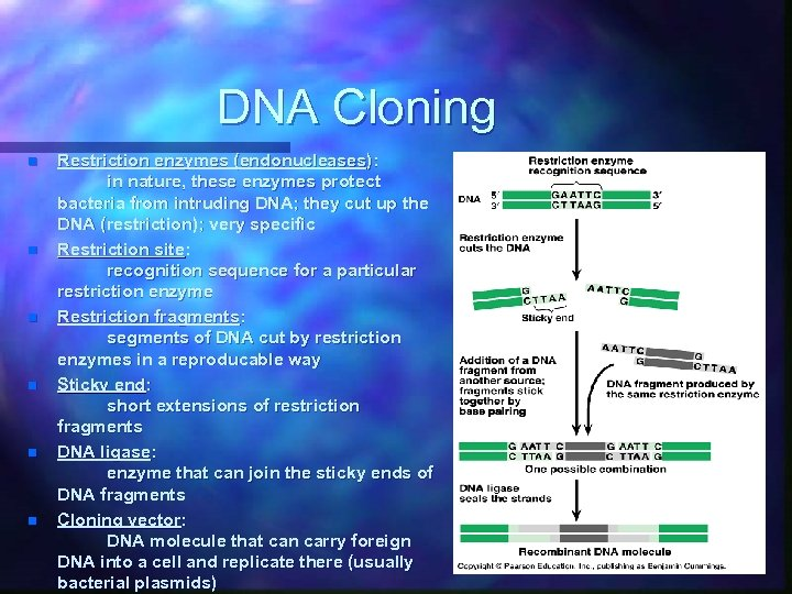 DNA Cloning n n n Restriction enzymes (endonucleases): in nature, these enzymes protect bacteria
