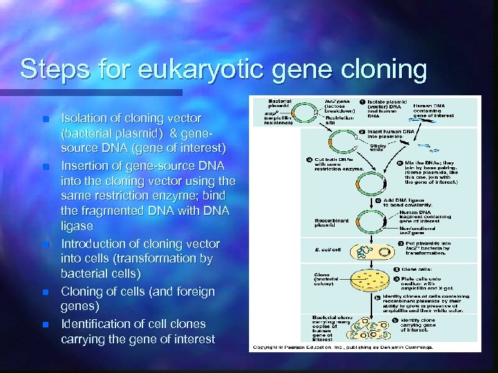 Steps for eukaryotic gene cloning n n n Isolation of cloning vector (bacterial plasmid)