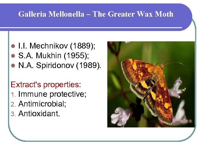 Galleria Mellonella – The Greater Wax Moth l l l I. I. Mechnikov (1889);
