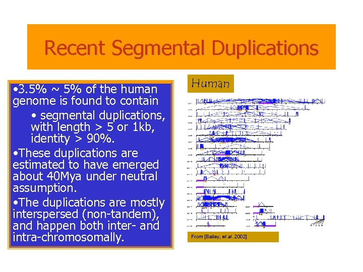 Recent Segmental Duplications • 3. 5% ~ 5% of the human genome is found