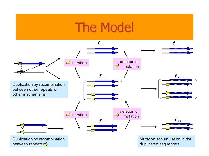 The Model f -- deletion or mutation insertion f +- f +Duplication by recombination