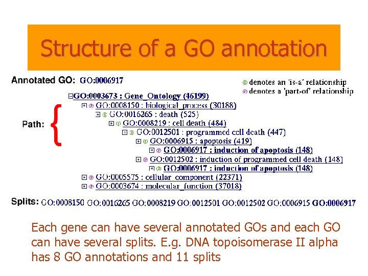 Structure of a GO annotation Each gene can have several annotated GOs and each