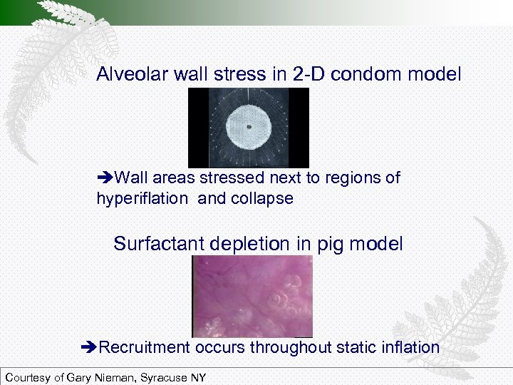 Alveolar wall stress in 2 -D condom model Wall areas stressed next to regions