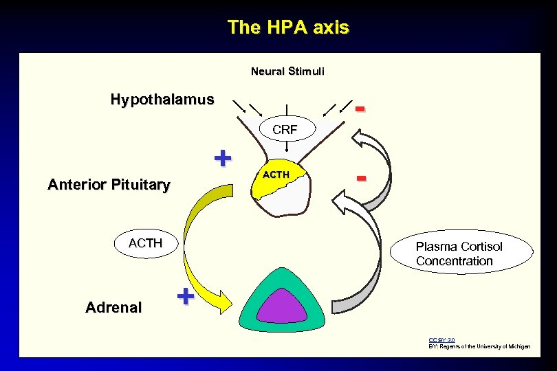 The HPA axis Neural Stimuli Hypothalamus CRF + Anterior Pituitary ACTH Adrenal ACTH Plasma