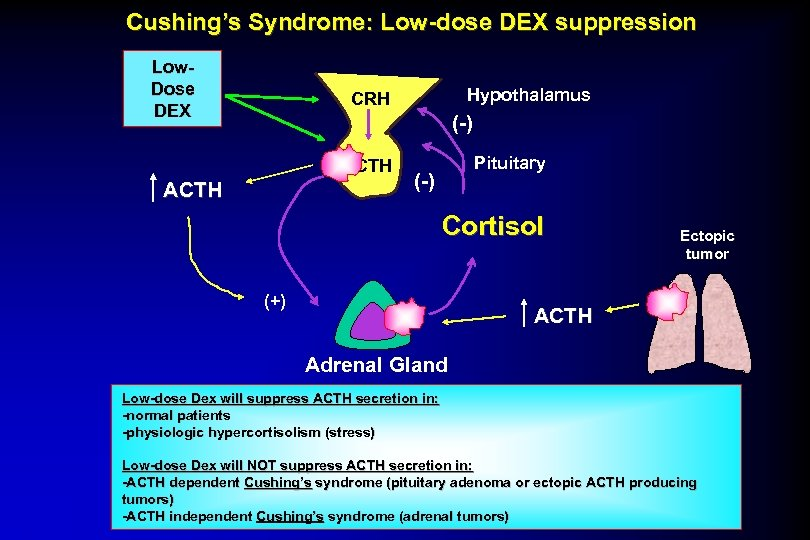 Cushing's Syndrome: Low-dose DEX suppression Low. Dose DEX Hypothalamus CRH (-) ACTH Pituitary (-)