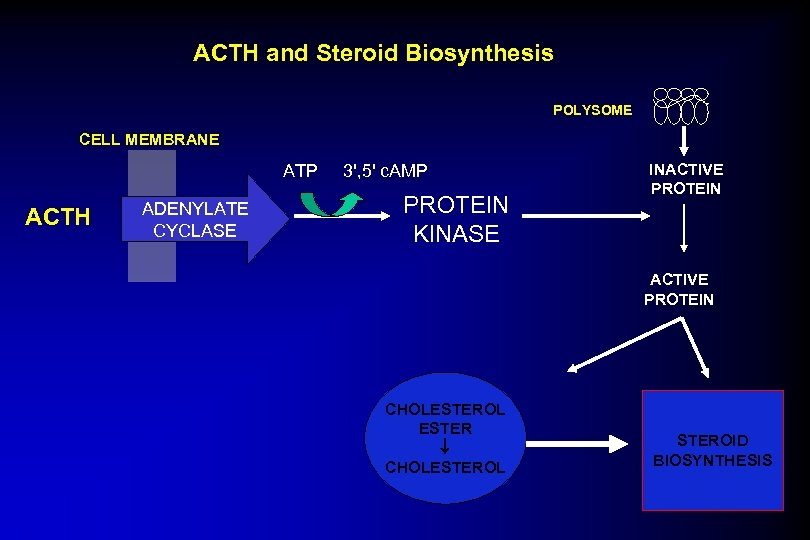 ACTH and Steroid Biosynthesis POLYSOME CELL MEMBRANE ATP ACTH ADENYLATE CYCLASE 3', 5' c.