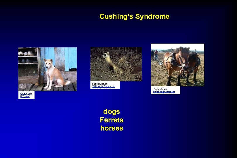 Cushing's Syndrome Public Domain Wikimedia Commons CC: BY 2. 0 BY: tajai dogs Ferrets