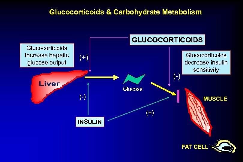 Glucocorticoids & Carbohydrate Metabolism GLUCOCORTICOIDS Glucocorticoids increase hepatic glucose output (+) (-) Glucose (-)