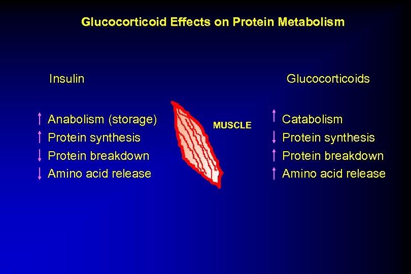 Glucocorticoid Effects on Protein Metabolism Insulin Anabolism (storage) Protein synthesis Protein breakdown Amino acid