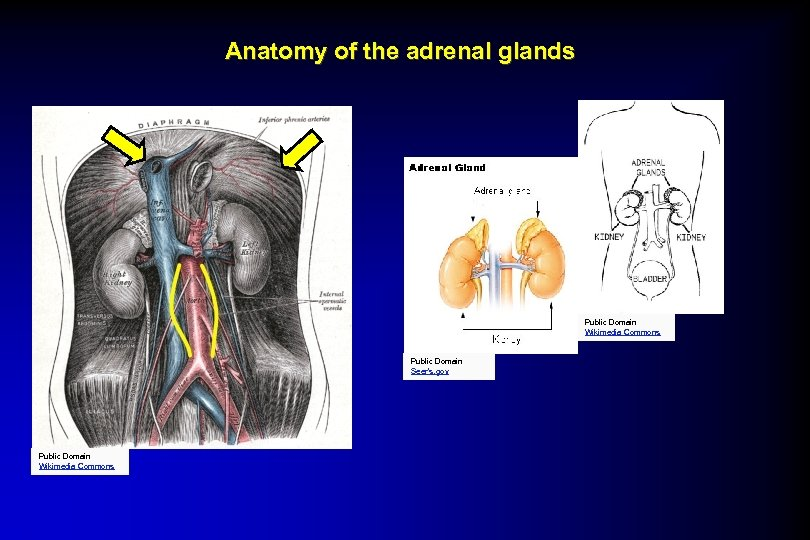 Anatomy of the adrenal glands Public Domain Wikimedia Commons Public Domain Seer's. gov Public