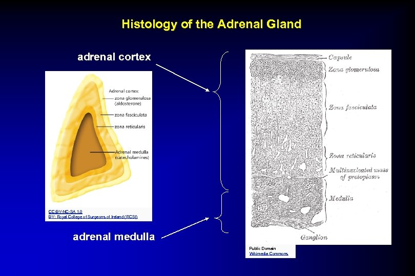 Histology of the Adrenal Gland adrenal cortex CC: BY-NC-SA 1. 0 BY: Royal College