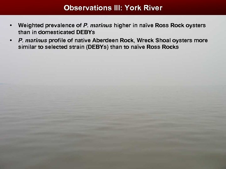 Observations III: York River • • Weighted prevalence of P. marinus higher in naïve