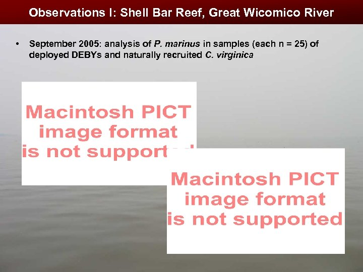 Observations I: Shell Bar Reef, Great Wicomico River • September 2005: analysis of P.