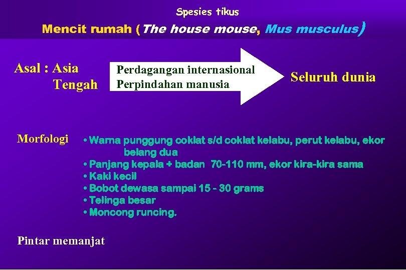 Spesies tikus Mencit rumah (The house mouse, Mus musculus) Asal : Asia Tengah Morfologi