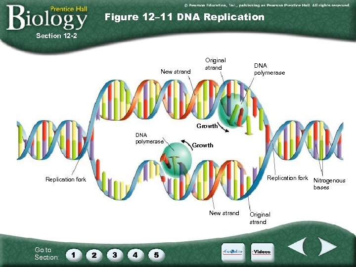 Figure 12– 11 DNA Replication Section 12 -2 New strand Original strand DNA polymerase
