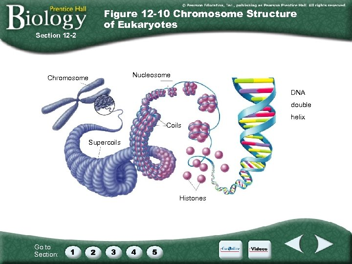 Figure 12 -10 Chromosome Structure of Eukaryotes Section 12 -2 Chromosome Nucleosome DNA double