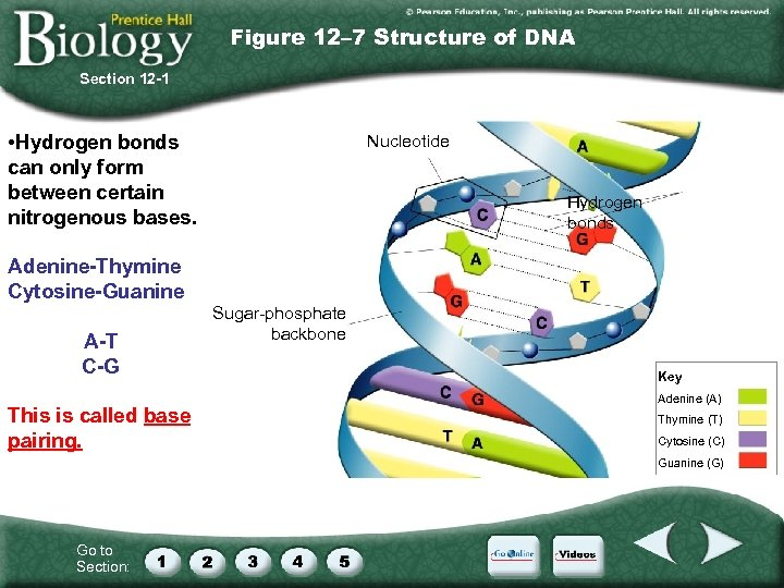 Figure 12– 7 Structure of DNA Section 12 -1 • Hydrogen bonds can only