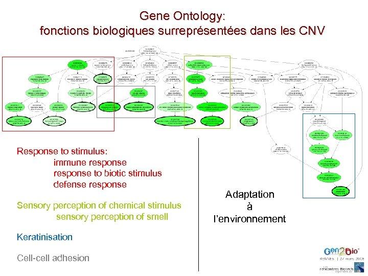 Gene Ontology: fonctions biologiques surreprésentées dans les CNV Response to stimulus: immune response to