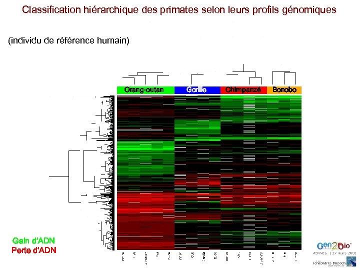 Classification hiérarchique des primates selon leurs profils génomiques (individu de référence humain) Orang-outan Gain