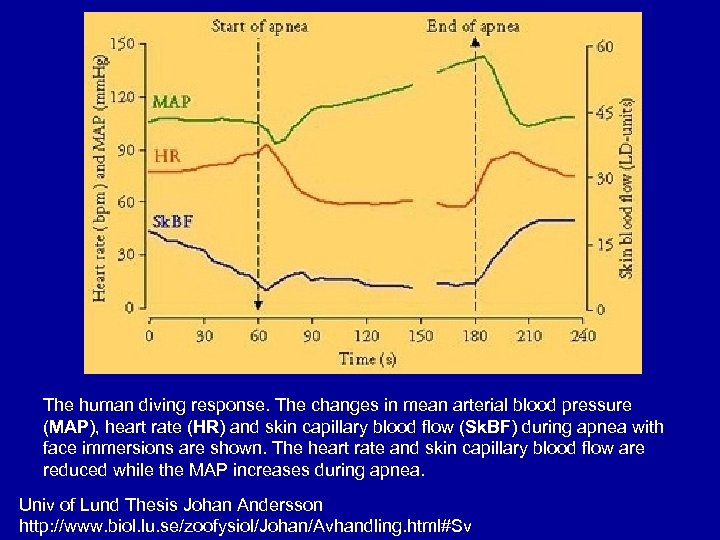 The human diving response. The changes in mean arterial blood pressure (MAP), heart rate